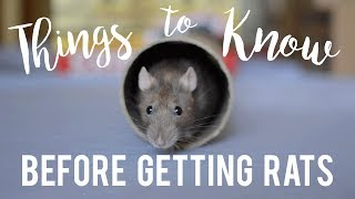 Rat Care For Beginners!