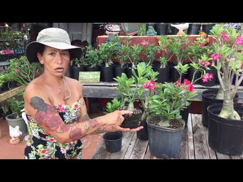 How to care for different size desert roses
