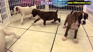 Boxer, Puppies, For, Sale, In, Minneapolis, Minnesota, MN, Inver Grove Heights, Roseville, Cottage G