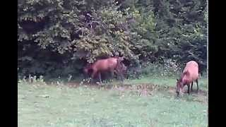preview picture of video 'Wild horses, the Hucul stud-. A Hucul ménes'
