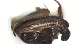 Ngày Mưa Bão Đi Kích Cá Dính Nhiều Cá Lóc, Cá Chuối