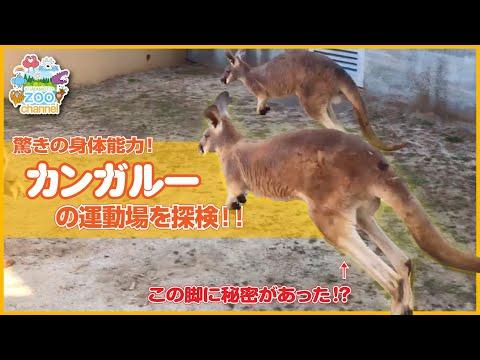 【熊本市動植物園】カンガルーの運動場を探検!