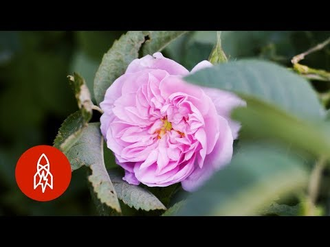 How is Rose Water Made?