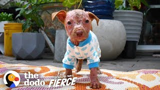 Watch This Bald Pit Bull Puppy Grow the Prettiest Fur | The Dodo Little But Fierce
