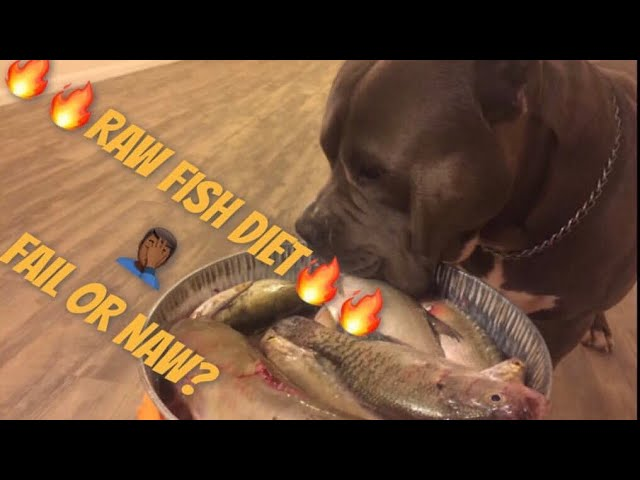 American bully eating  raw fish: Can dogs eat raw fish?