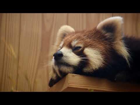 【東山動植物園公式】レッサーパンダ:ねむねむズン