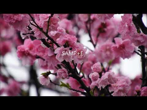 動画制作にどうぞ!「春の花」の素材を提供します アンズに蜂・サンシュユ・枝垂れ梅・ハナモモに雪など6種 イメージ1