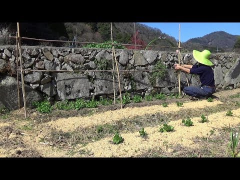 グリンピースの支柱立てと里芋植え