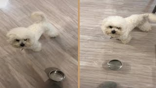 Angry Fluffy White Poodle Dog Throwing Empty Bowl Asking For Food
