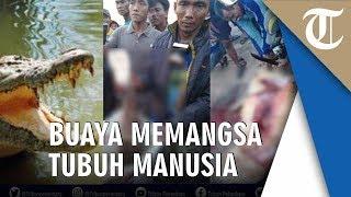 Potongan Tubuh Manusia Diduga Wartoyo Warga Siak Riau Ditemukan Dalam Perut Buaya Pemangsa