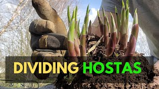 How to Divide Hostas, Best Time to Divide Hostas and Other Planting Tips
