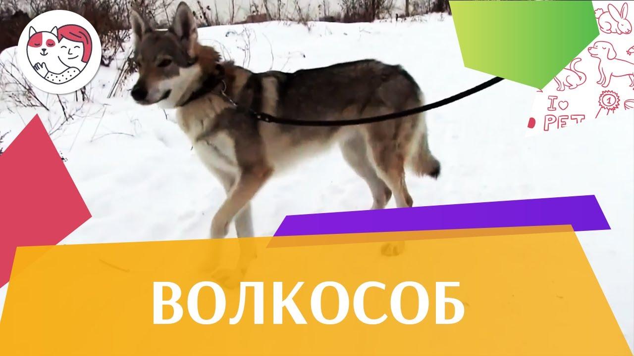 Чехословацкая волчья собака   Волчак ч 1 на ilikePet
