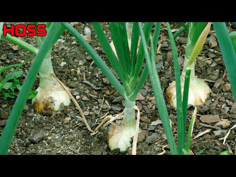 , title : '3 THINGS YOU MUST KNOW ABOUT GROWING ONIONS!