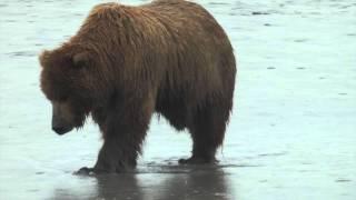 Alaska Bear Viewing with Natron Air (Soldotna), Bärenbeobachtung, Bären