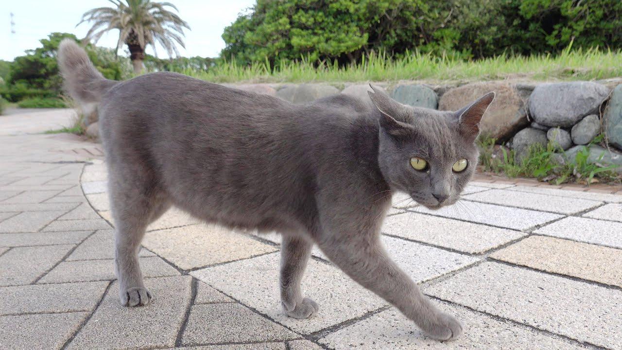ロシアンブルーのような猫がスタイルの良い体をモフらせてくれた