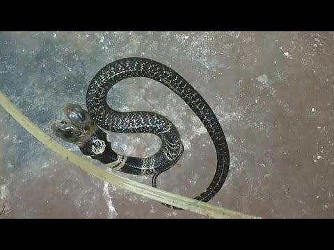 Δικέφαλο φίδι προκαλεί πανικό στην Ινδία