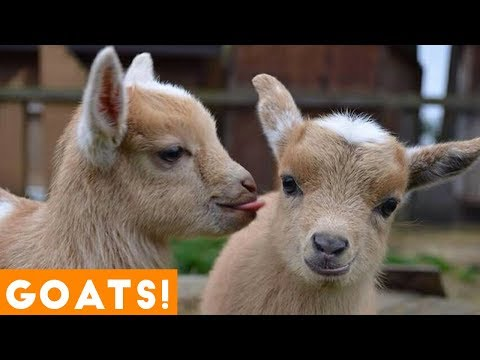 [PETS FOR KIDS] Try Not To Laugh Animals Cute & Funny Goat Fail Compilation April 2018