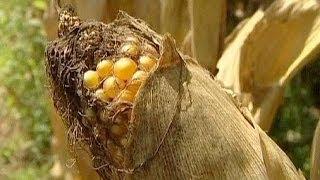 CORN - Bruxelas aprova cultivo de milho transgénico