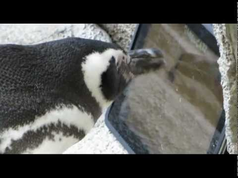 Penguins Allowed To Enjoy 'Obsolete iPad'