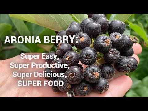 , title : 'How to Grow Aronia: An easy shrub with tasty nutritious berries.