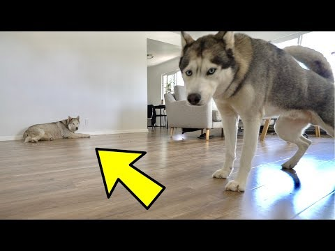 Left My Husky Home ALONE With Another Husky..