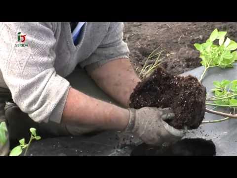 Fotograma del vídeo:  El cultivo del arándano en Asturias