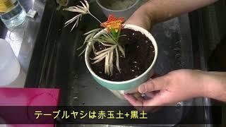 ダイソーの100円観葉植物の植替えテーブルヤシマミラリアサボテン