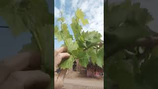 تحميل و مشاهدة توريق العنب تدوير المجموع الخضرى فى العنب الجزء2 MP3