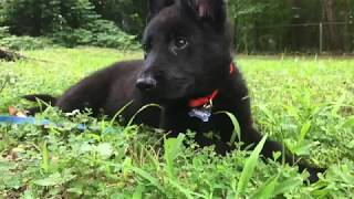Kato - Multi Purpose K9 Puppy Imprinting - Week 1