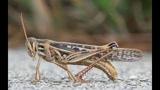 Locust Menace: Kenya struggles to stop locust swarms