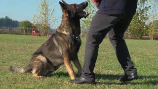 German Shepherd Ultimate Obedience-Fast And Highly Responsive To Every Command.