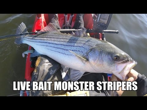 How To Catch MONSTER STRIPED BASS ON LIVE BUNKER - Live Bait Fishing