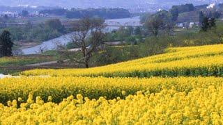 RapeBlossoms長野県飯山市・いいやま菜の花まつり長野観光花の名所案内北陸新幹線