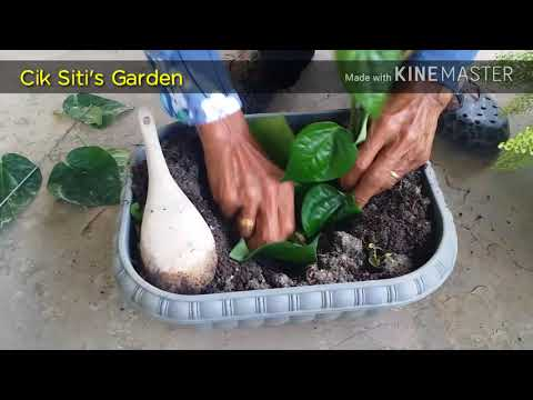 DIY : Tanam pokok sirih dalam pasu