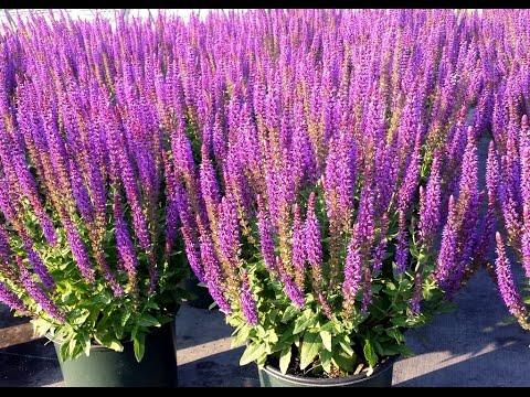 Best Garden Perennials - Salvia East Friesland (Meadow Sage)