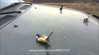 Смотреть онлайн Семейство птиц синиц улеглись на капоте