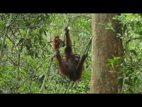 video Maleisisch Borneo familiereis