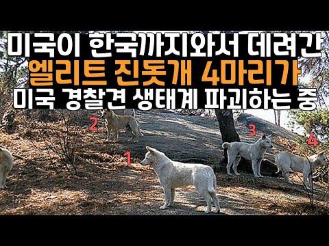 미국이 한국까지와서 데려간 엘리트 진돗개 4마리가 미국 경찰견 생태계 파괴하는 중