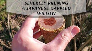 Pruning a Japanese Dappled Willow Severely (Salix integra)