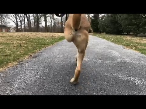 Meet the Fastest Dog on 2 Legs
