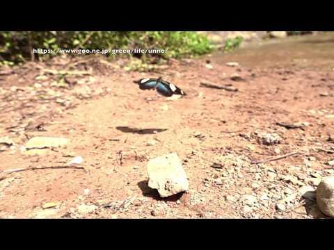ドリスドクチョウの飛翔 Heliconius doris