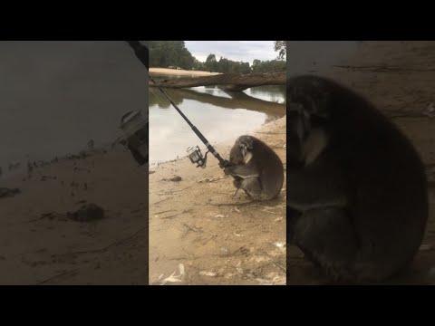 Коала стана рибар (ВИДЕО)