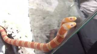 Two-headed Albino Honduran Milksnake (shot with iPhone)