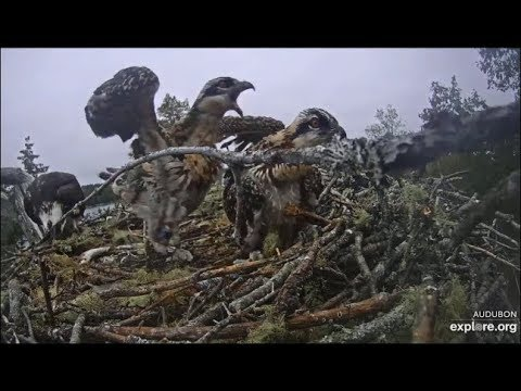 Hog Island Osprey Cam ~ A Not So Good Day For Youngest Chick ~ WARNING ~ Sibling Rivalry 7.11.19