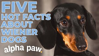 5 Shocking Facts About Dachshunds!