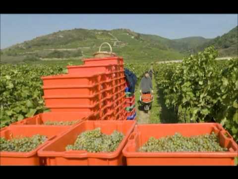 Impressionen von der Weinlese 2007
