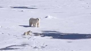 Cute polar bear cub playing and having fun