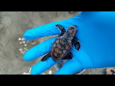 Nacieron 67 tortugas carey en el Parque Tayrona