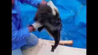 Koala Stuck In Pool Attacks Its Rescuers