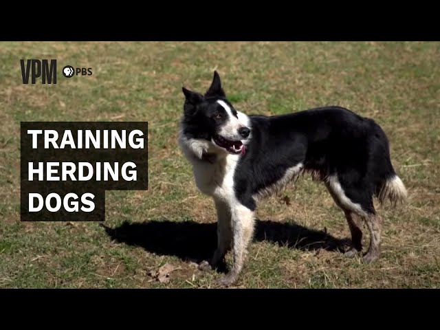 Virginia Farming: Working Dogs Part 1: Herding, Driving